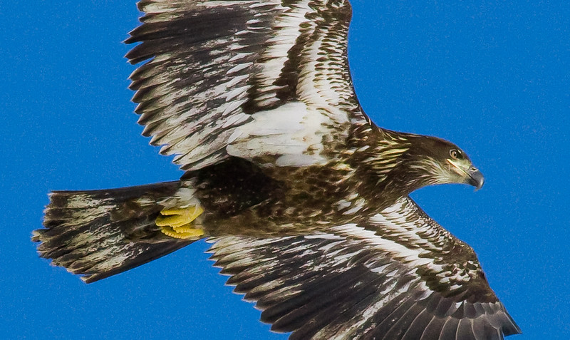 juvenile Bald eagle in flight, close up, Phippsburg Maine Bald Eagle