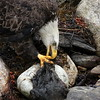 Bald Eagle Tearing Seal Carcass, Bald Eagle eating carrion, Phippsburg, Maine Bald Eagle
