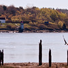 Bald eagle adult flying by old warf pilings on Kennebec River wth Squirrel Point Lighthous in the background, Phippsburg Maine Bald Eagle