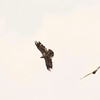 three, Bald eagles in flight, adult left, juveniles on right, Phippsburg Maine Bald Eagle