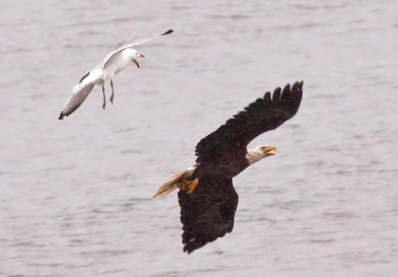 Herring Gull after Bald eagle adult, flight fight, Pihppsburg Maine Bald Eagle
