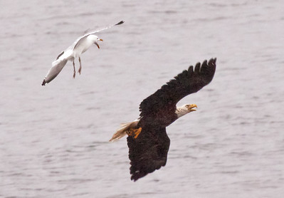 Herring Gull after Bald eagle adult, flight fight, Pihppsburg Maine Bald Eagle