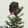 Bald eagle sub adult atop Black spruce tree about to fly, Phippsburg Maine Bald Eagle