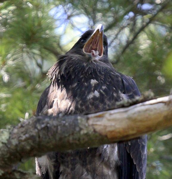 Bald Eagle Bald Eagle