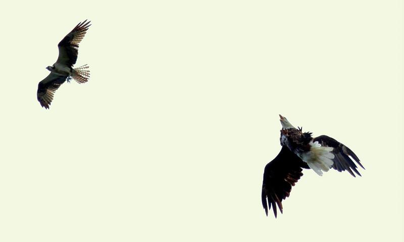 Bald Eagle and Osprey in flight, combat, Phippsburg Maine Bald Eagle