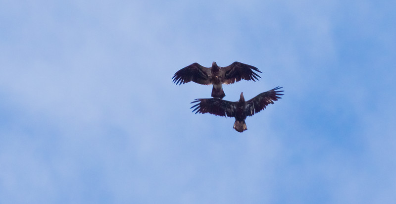 Bald Eagles In Flight, juvenile and adult, Phippsburg Maine Bald Eagle
