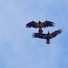 Bald Eagles In Flight, juvenile and adult, Phippsburg Maine Bald Eagle