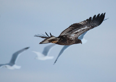 Juvenile American Bald eagle in flight with Herring gulls in the background, Bath Maine December