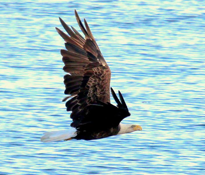 Bald Eagle In Flight Bald Eagle