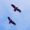 Bald Eagles In Flight, juveniles, bird on left one year older than bird on right Bald Eagle