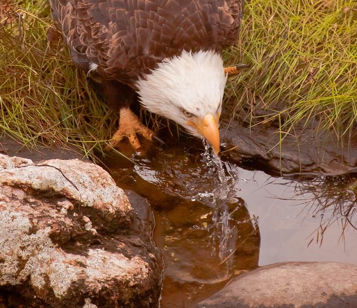 Bald Eagle adult drinking salt water, Phippsburg Maine Totman Cove close up Bald Eagle
