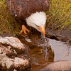 Bald Eagle adult drinking salt water, Phippsburg Maine Totman Cove close up Bald Eagle