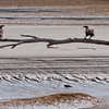Bald Eagles, two perched on driftwood on beach, Atkin's Bay, Phippsburg, Maine Bald Eagle