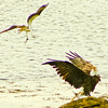 Bald Eagle adult with Striped bass fending off Osprey carrying seaweed in its talons, Phippsburg Maine Bald Eagle