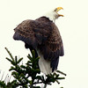 Bald eagle adult perched vovalizing right facing Bald Eagle