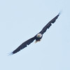 Adult Bald eagle in flight, Phippsburg, Maine August