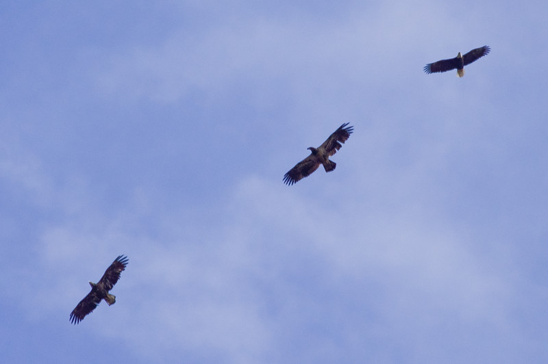 Three Bald Eagles In Flight, two juveniles on left, adult on right, Phippsburg, Maine Bald Eagle