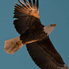 Bald eagle, flight, under lighting reflecting from snow, Maine, right facing Bald Eagle