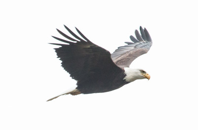 Adult Bald Eagle in flight, Bath, Maine