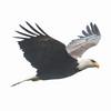 Adult Bald Eagle in flight, Bath, Maine