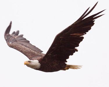 EAGLES   Bald Eagles, Golden Eagles Maine