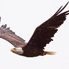 Bald Eagle In Flight, left facing, Phippsburg Maine Bald Eagle