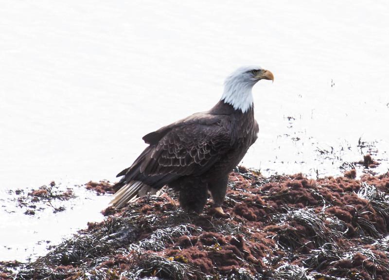 Bald eagle, adult. Perched on rocks on shore, Phippsburg, Maine