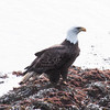 Bald eagle, adult. Perched on rocks on shore, Phippsburg, Maine
