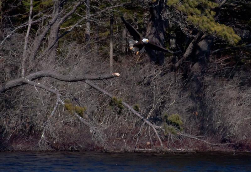 Bald Eagle adult launching from snag at pond side Wata Lake, Sebasco Harbor, Phippsburg Maine Bald Eagle