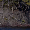 Bald Eagle adult launching from snag at pond side Wata Lake, Sebasco Harbor, Phippsburg Maine Bald Eagle