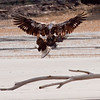 Bald Eagles, juveniles in scrap and In Flight on the beach, Atkins Bay, Phippsburg Maine Bald Eagle