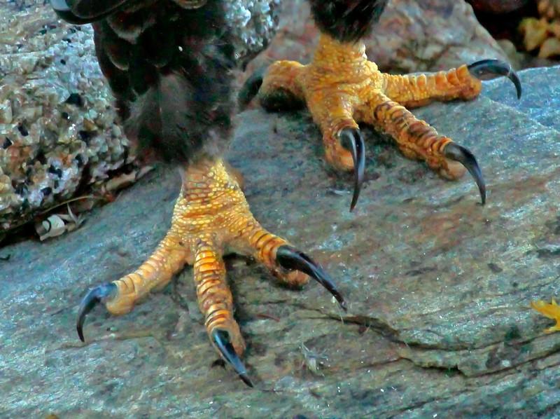 Bald Eagle talon detail, cute feet! Bald Eagle