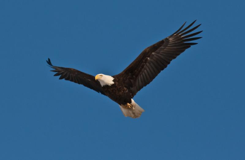 adult Bald eagle, flight, uplifted wings, left facing, Phippsburg Maine Bald Eagle