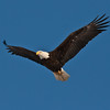 adult Bald eagle, flight, uplifted wings, left facing, Phippsburg Maine Bald Eagle