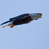 The Rocket! Bald Eagle In Flight Bald Eagle