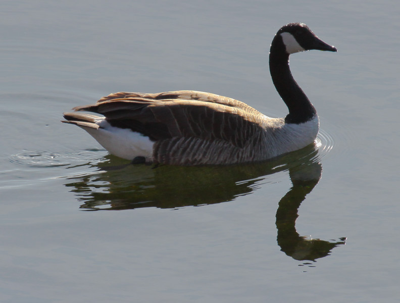 Canada Goose Floating Reflection