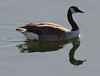 Canada Goose Floating Reflection