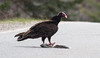 Turkey Vulture eating Gray squirrell road kill, Phippsburg, Maine