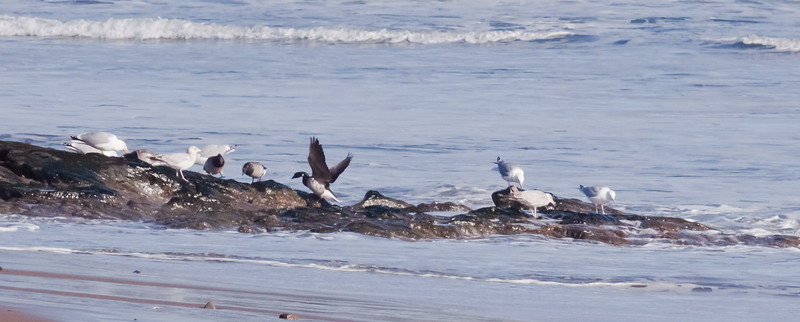 Brant geese feeding on rocks with Herring gulls, Bald Head, Small Point, Phippsburg, Maine late winter/early spring,