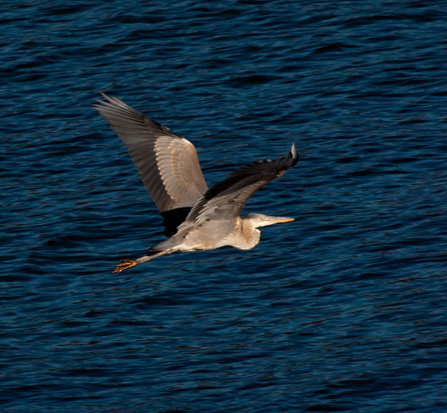 Great Blue Heron in flight, wings up, right facing evening sun, Phippsburg, Maine summer, migratory wading bird