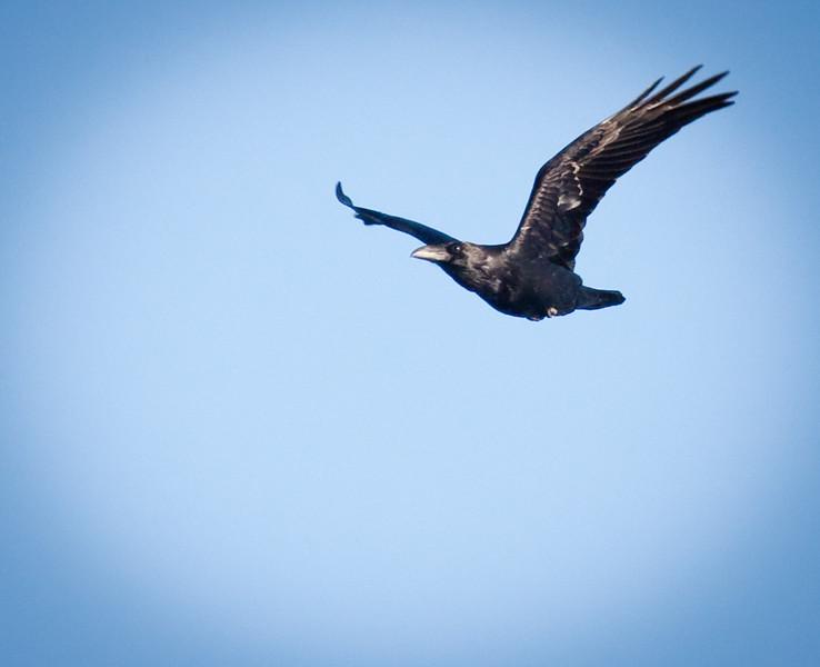 Raven Soaring