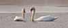 pair of Mute Swans face to face swimming,