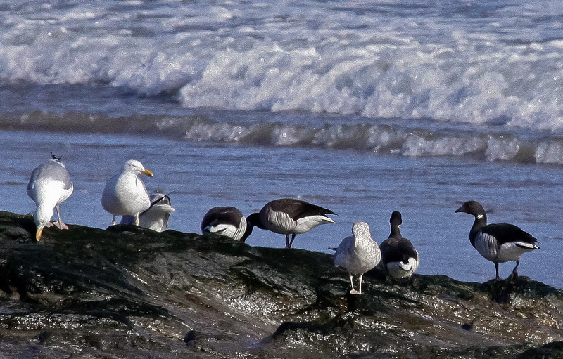 Brant geese flock of five feeding on rocks with seaweed along with three Herring Gulls (the gray one on the right is an immature, first year bird), Shell Beach, Small POint, PHippsburg, Maine,