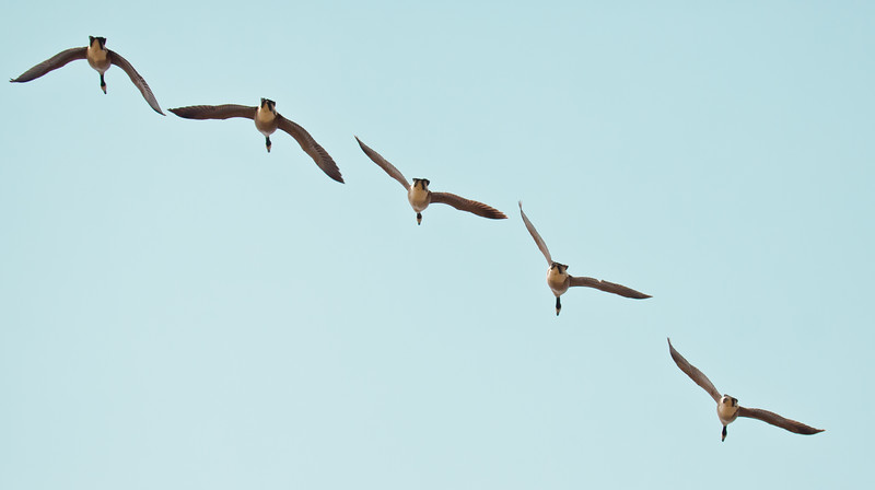 Canada geese in flight, migratory flock in classic ribbon pattern, PHippsburg, Maine