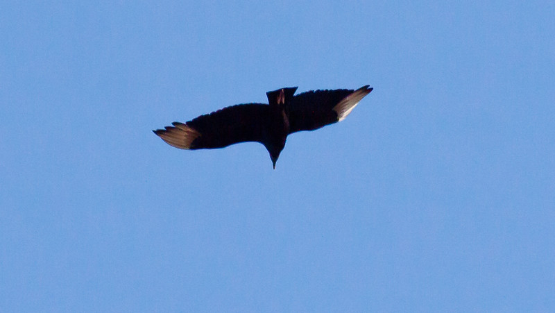 Black Vulture in flight from underneath looking up
