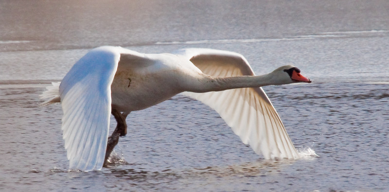 Mute swan taking off from frozen pond wing tips still in the water!