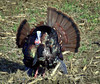 Wild turkey male displaying, fall, bird is in a corn field
