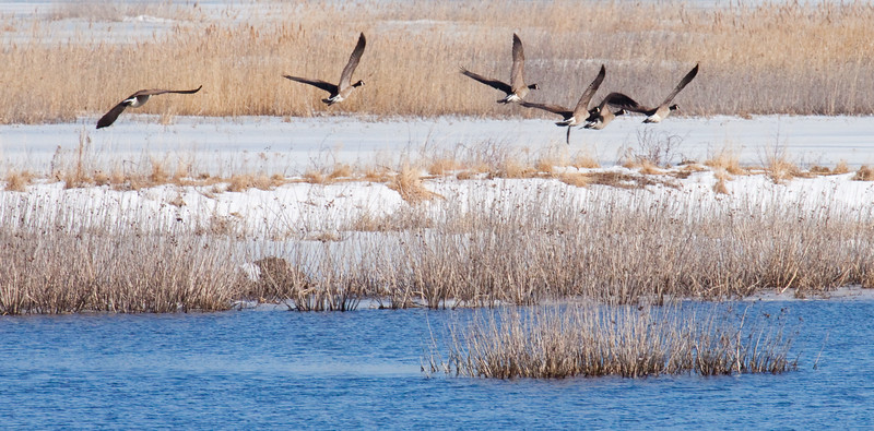 Canada geese flock taking off over saly marsh in winter