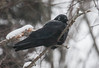 American crow with ice and snow frozen around its eye and head during winter storm Hercules, January 3, 2014, Phippsburg, Maine