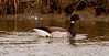 Brant goose close up side view swimming